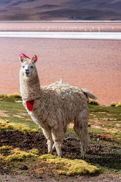 A llama in front of a pink lake in Andean highlands
