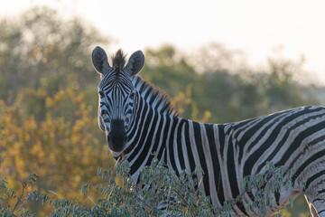 Printed kitchen splashbacks Zebra Zebra (Equus quagga) in the Timbavati Reserve, South Africa