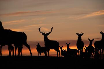 Sonnenuntergang Abendrot Deer Hirsche Dammwild Tiere Silhouette Lüneburger Heide