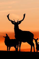 Printed kitchen splashbacks Antelope Sonnenuntergang Abendrot Deer Hirsche Dammwild Tiere Silhouette Lüneburger Heide