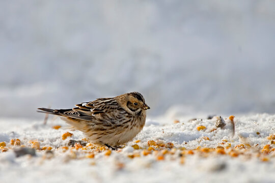 Lapland Longspur or Bunting, Calcarius lapponicus, feeding in the snow