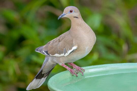 Houston, Texas, USA. White-winged dove perched on a birdbath.