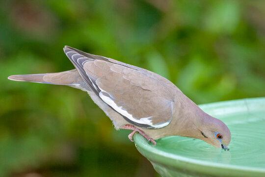 Houston, Texas, USA. White-winged dove drinking from a birdbath.