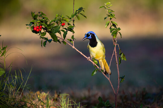 Green Jay (Cyanocorax yncas) perched in Barbados Cherry bush.