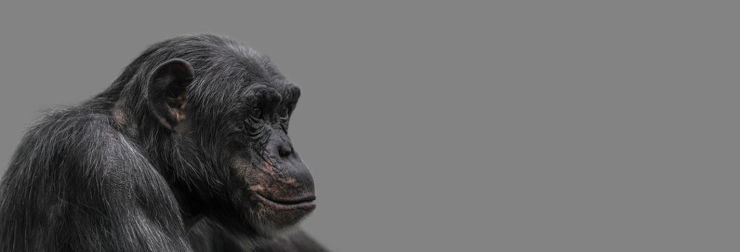 Banner with a portrait of happy smiling Chimpanzee, closeup, details with copy space and solid background. Concept biodiversity, animal care and welfare and wildlife conservation.