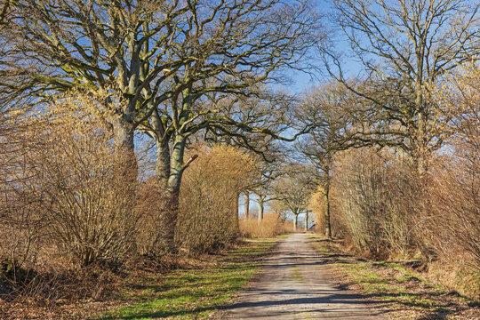 Feldweg mit Knicks (Wallhecken) auf beiden Seiten (Redder)  mit blühenden Sträuchern der Hasel und mit Eichen im Frühling Anfang März bei Wakendorf II in Schleswig-Holstein, Deutschland.