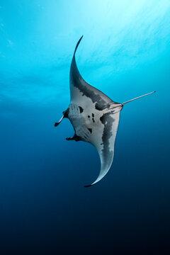 Underwater view of Giant Manta Ray swimming near the pinnacle of roca partida, Socorro, Baja California, Mexico