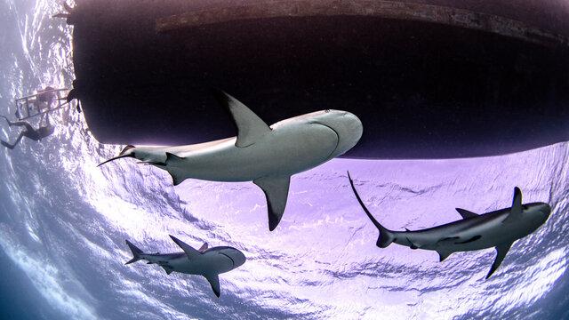 Underwater view of three reef sharks, Alice Town, Bimini, Bahamas