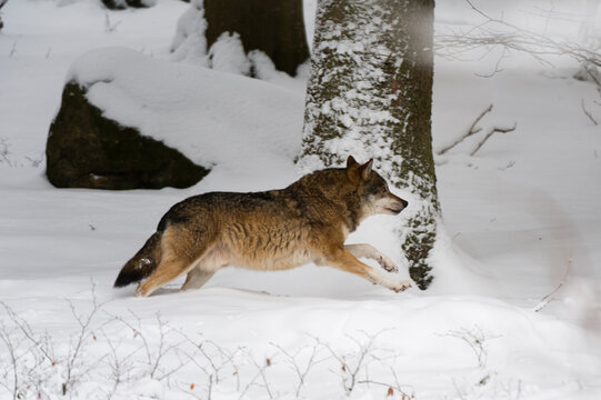 Gray wolf (Canis lupus), running in snow, Captive, Bavarian Forest National Park, Bavaria, Germany