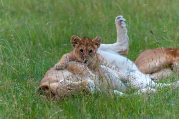 Lioness (Panthera leo) and cub, Masai Mara National Reserve, Kenya Wall mural
