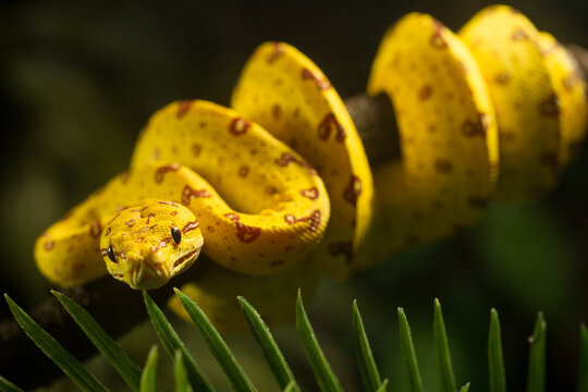 Close up of juvenile Green Tree Python, bright yellow with brown markings curled around a branch.