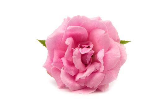 Damask rose isolated on white background.