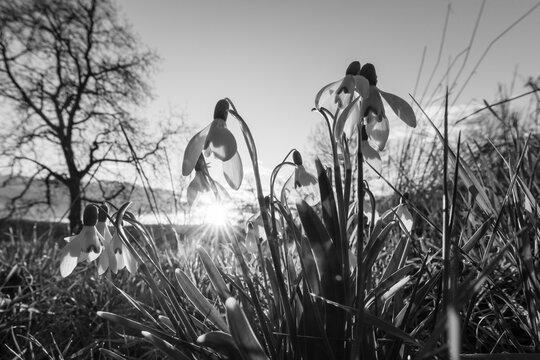 Sonnenstern hinter Schneeglöckchen
