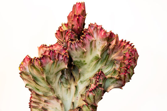 Close-up of red-green euphorbia lactea cristata succulent plant on the white background