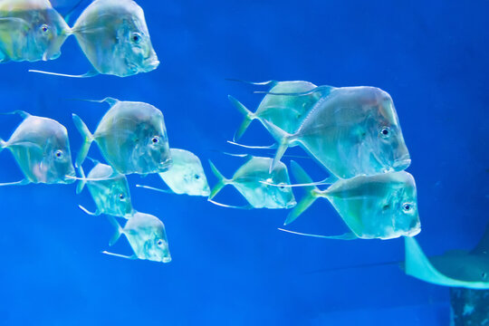 Flock of marine tropical fish Selene vomer fish swims in the depths of the ocean.