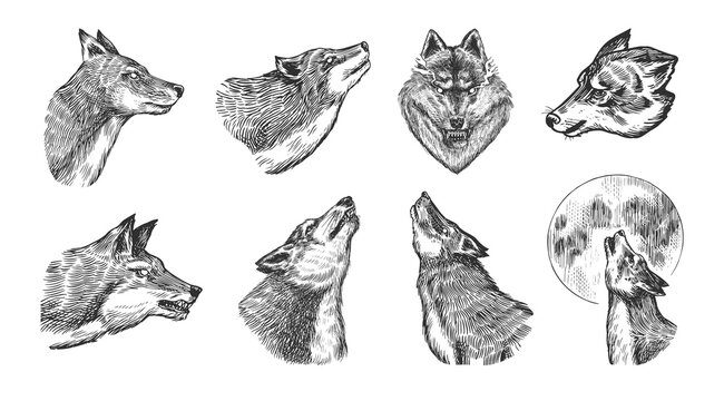 Gray wolf set. Gray wolf. A predatory beast. Wild forest animal. Vector Engraved hand drawn Vintage old sketch for stamp, t-shirt or typography or badge.