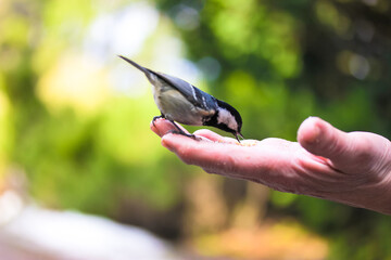 Fototapeta Tit eats food from the hand of an elderly person in a green forest in the sunny spring day. Bird lovers, birdwatching. A beauty of the environment nature. Ornithology, International bird day concept.