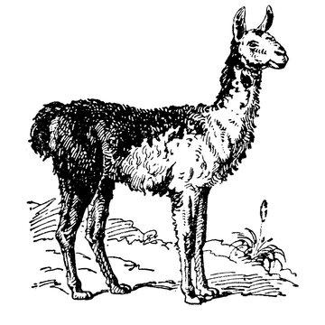 Vintage engraving of a llama