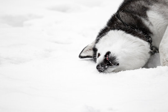 A dead Siberian husky pet dog lies in the snow with an open mouth. A dead animal in a collar and on a leash. A poisoned dog. Mass poisoning. Copy space. Mass dog baiting and animal cruelty. Killing.
