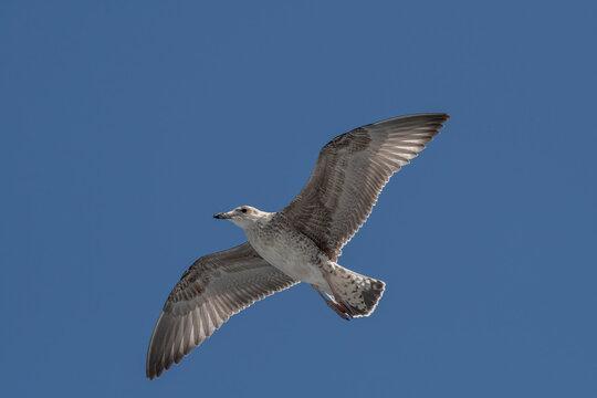 Close up of Caspian gull Larus cachinnans