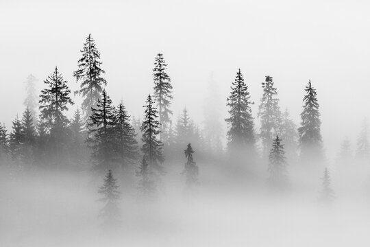Abstract Landscape In The Mountains, With Fog In The Forest, In The Morning In Rodnei Mountains