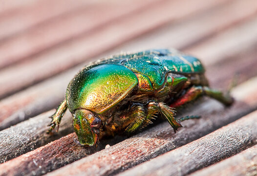 Green Golden June Beetle Or Cockchafer Detail View Sitting On A Wooden Deck In The Sun.
