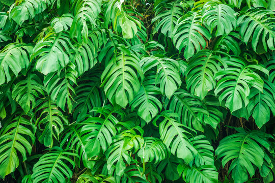 Tropical Leaves Monstera, Swiss Cheese Plant. Green Leaves Background