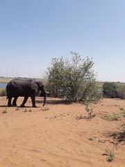 słoń kasane
