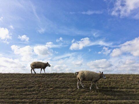 Sheep Are Grazing On  A Dyke