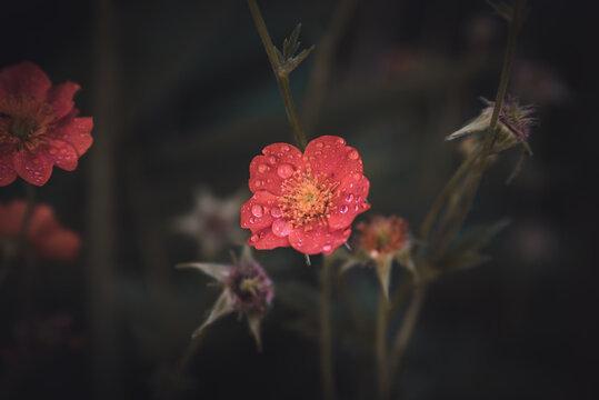 Wildflower with dewdrops in a garden.