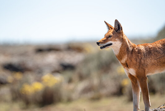 The Rarest Canid, The Endemic Ethiopian Wolf A Highly Endangered Species Numbering Below 500.