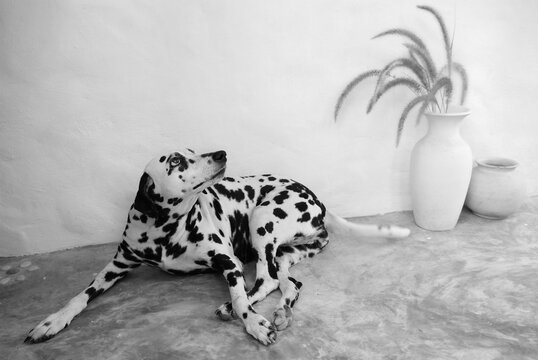 Black And White Portrait, The Dalmantian     Dog.