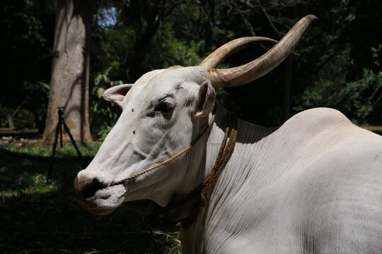 Portrait Of A White Asian Bull With Horns