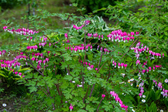 Close-up flowers of a bleeding heart Dicentra Spectabils