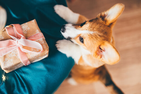 New Year Dog, Corgi Puppy With Christmas Present.