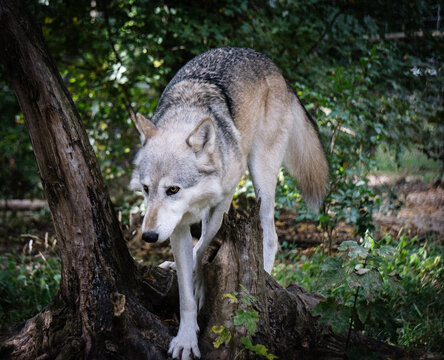 Wolf In A Forest