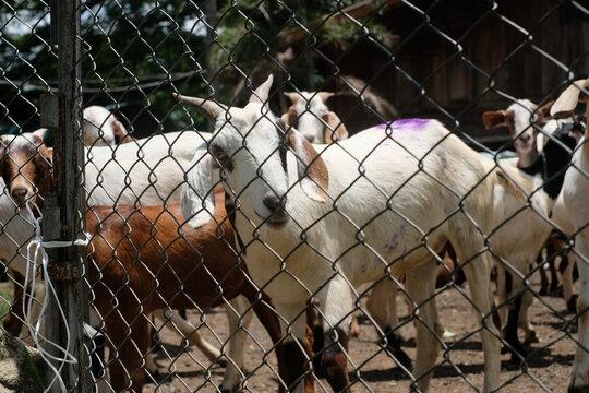 Sheep Seen Through Chainlink Fence