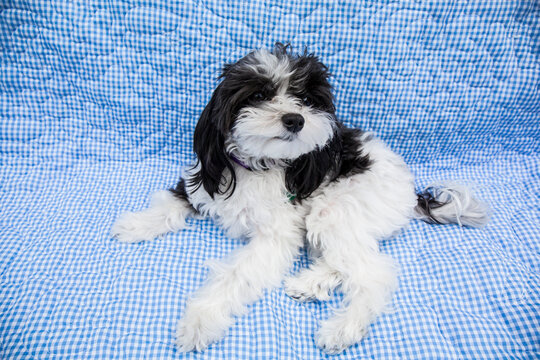 Maltipoo puppy lying on a covered sofa. Maltipoos are a cross-breed/hybrid dog obtained by breeding a Maltese and a Poodle.