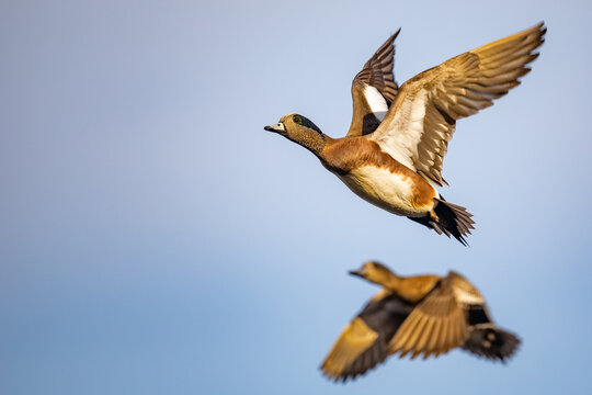 Drake American Wigeon Gains Altitude with Powerful Wing Beats