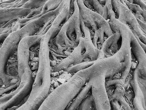 Roots On Black And White