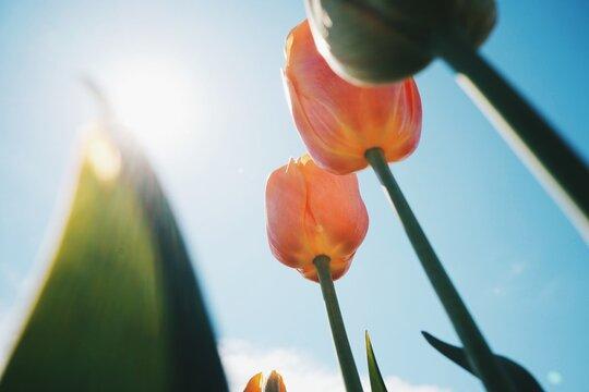 Tulip And Blue Sky