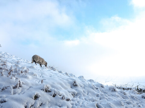 View Of A Sheep On Snow Covered Land