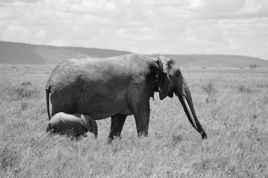 Side View Of A Mother Elephant And Baby