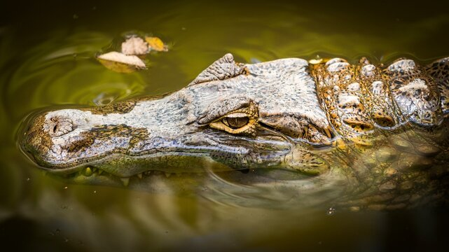 Close-up Of Crocodile Swimming In Lake
