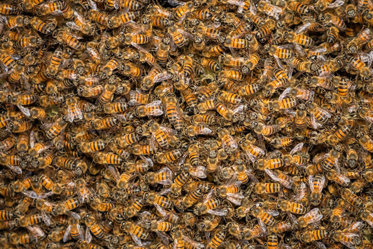 Lots Of Bees In The Wild. Picture Taken In Chitimba, Malawi
