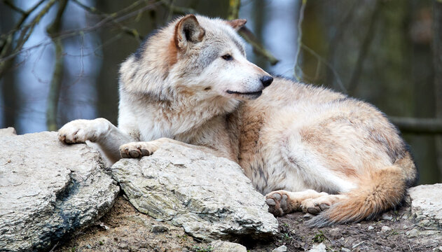 Close-up Of Wolf Relaxing On Rock