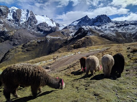 Lamas In A Field