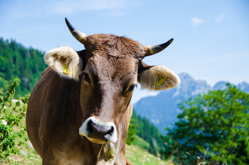 Cow In The Bavarian Alps Wall mural