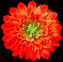 flower red chrysanthemum . Flower isolated on the black background. No shadows with clipping path. Close-up. Nature.