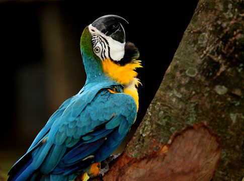 Close-up Of Gold And Blue Macaw Perching On Tree